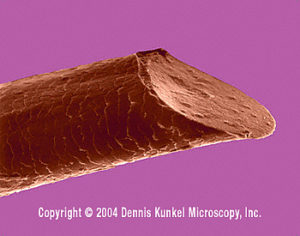 Viewed under a microscope, this beard hair was cut with a razor. Notice the sharp angle that is a result of angled blades, which keep us from cutting our faces while shaving. This is what stabs your face and causes irritation. Image Source: http://www.denniskunkel.com/gallery/medical/9219A.jpg